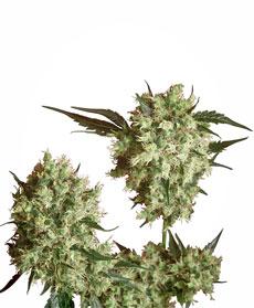 Marley's Collie® Seeds