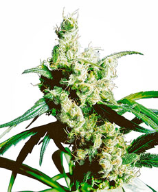 Silver Haze&reg; Seeds