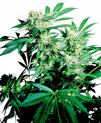 Semillas de cannabis recomendadas para principiantes!