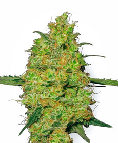 Master Kush Seeds