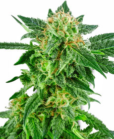 Snow Ryder Feminised Seeds