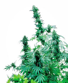 Semillas de Early Skunk®