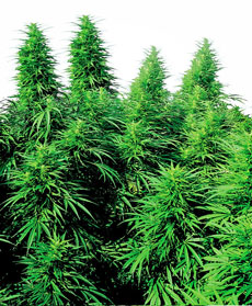 Semillas de Ruderalis Skunk&reg;