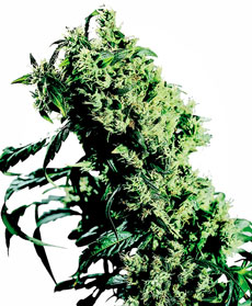 Semillas de Northern Lights #5 X Haze Feminizada