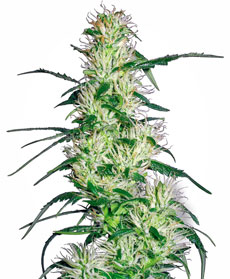 Semillas de Purple Haze feminizada