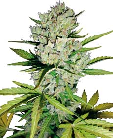Semillas de Super Skunk Automatic - White Label