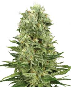 Graines de Skunk #1 Automatic - White Label