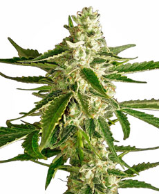 Graines de White Diesel haze Automatic