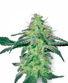 White Skunk Gefeminiseerde Zaden