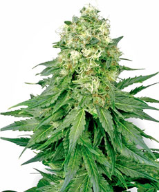 White Widow Gefeminiseerde Zaden