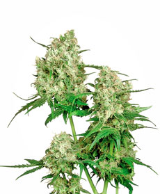 Maple Leaf Indica&reg; Seeds
