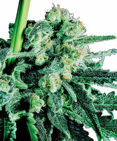 Sensi Skunk&reg; Seeds