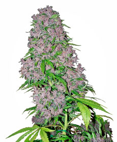Purple Bud Feminizada