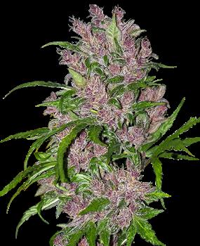 Purple Bud Automatic Hanfsamen von White Label