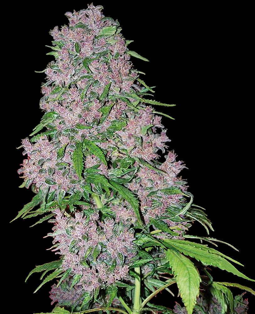 Purple Bud Feminisierte Hanfsamen von White Label