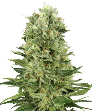 Skunk #1 Automatic Samen - White Label