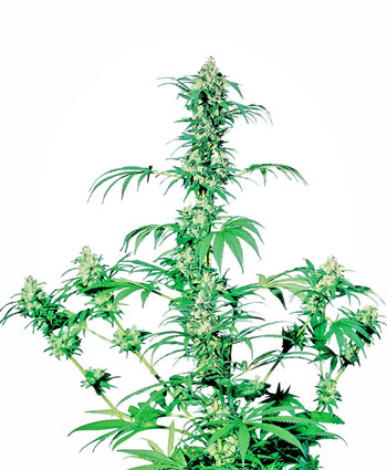 Kaufen Sie Early Girl® Hanfsamen - Sensi Seeds