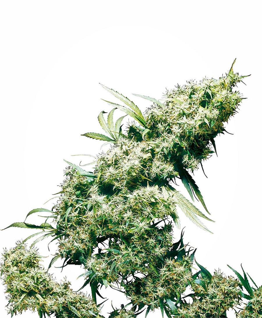 Kaufen Sie Jamaican Pearl® Hanfsamen - Sensi Seeds