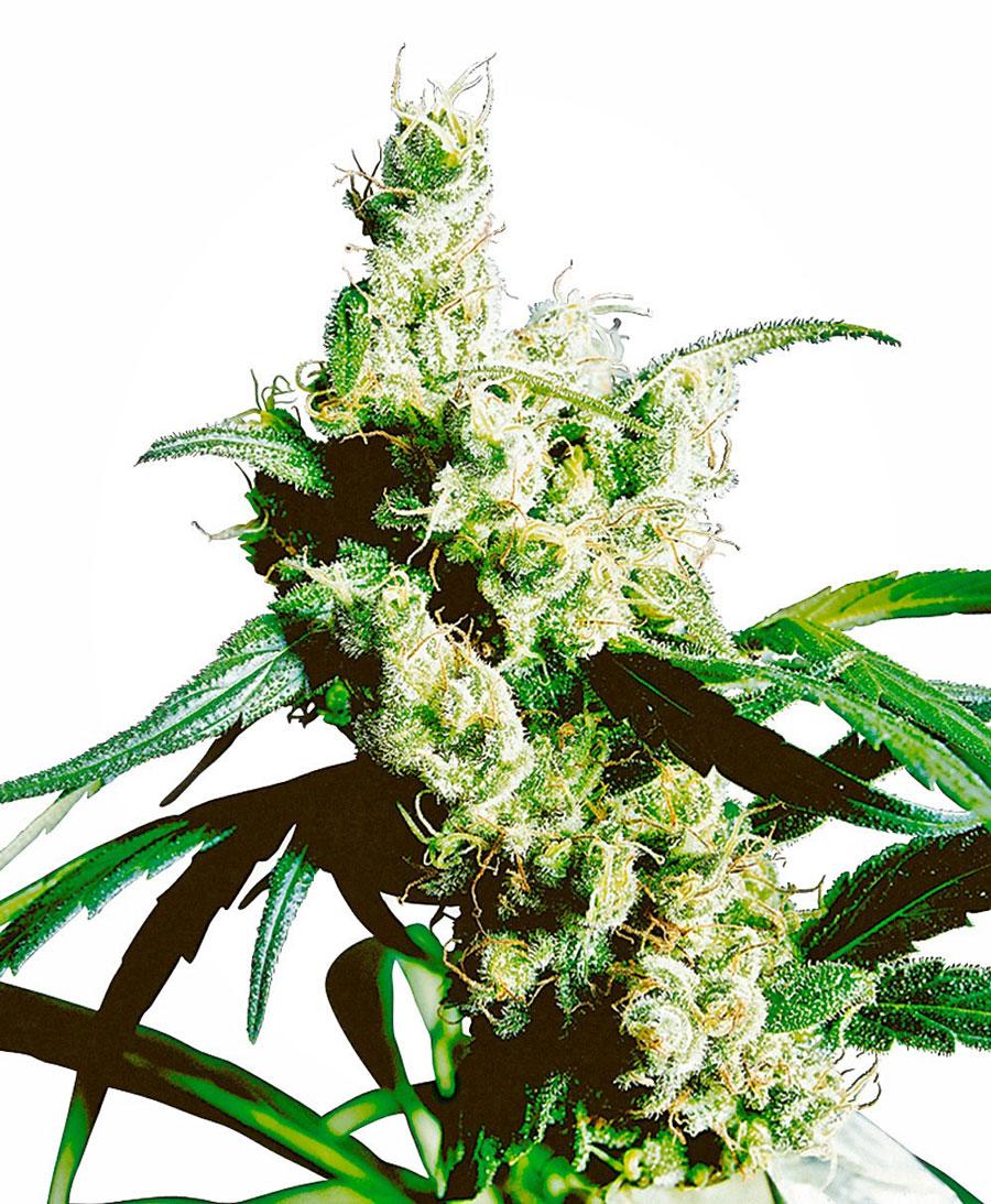 Kaufen Sie Silver Haze® Hanfsamen - Sensi Seeds