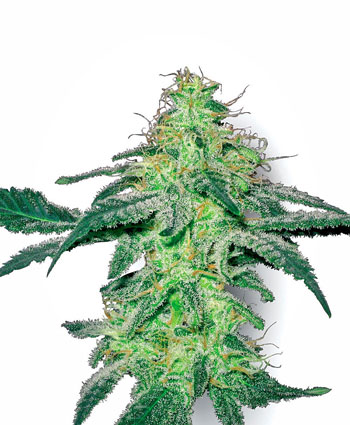 White Skunk Cannabis Seeds