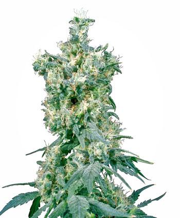 Buy American Dream® seeds online - Sensi Seeds UK