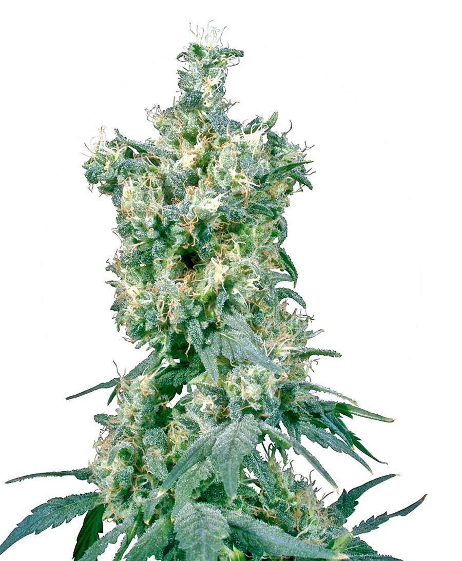 Buy American Dream® seeds online - Sensi Seeds UK