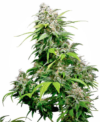 California Indica Cannabis Seeds