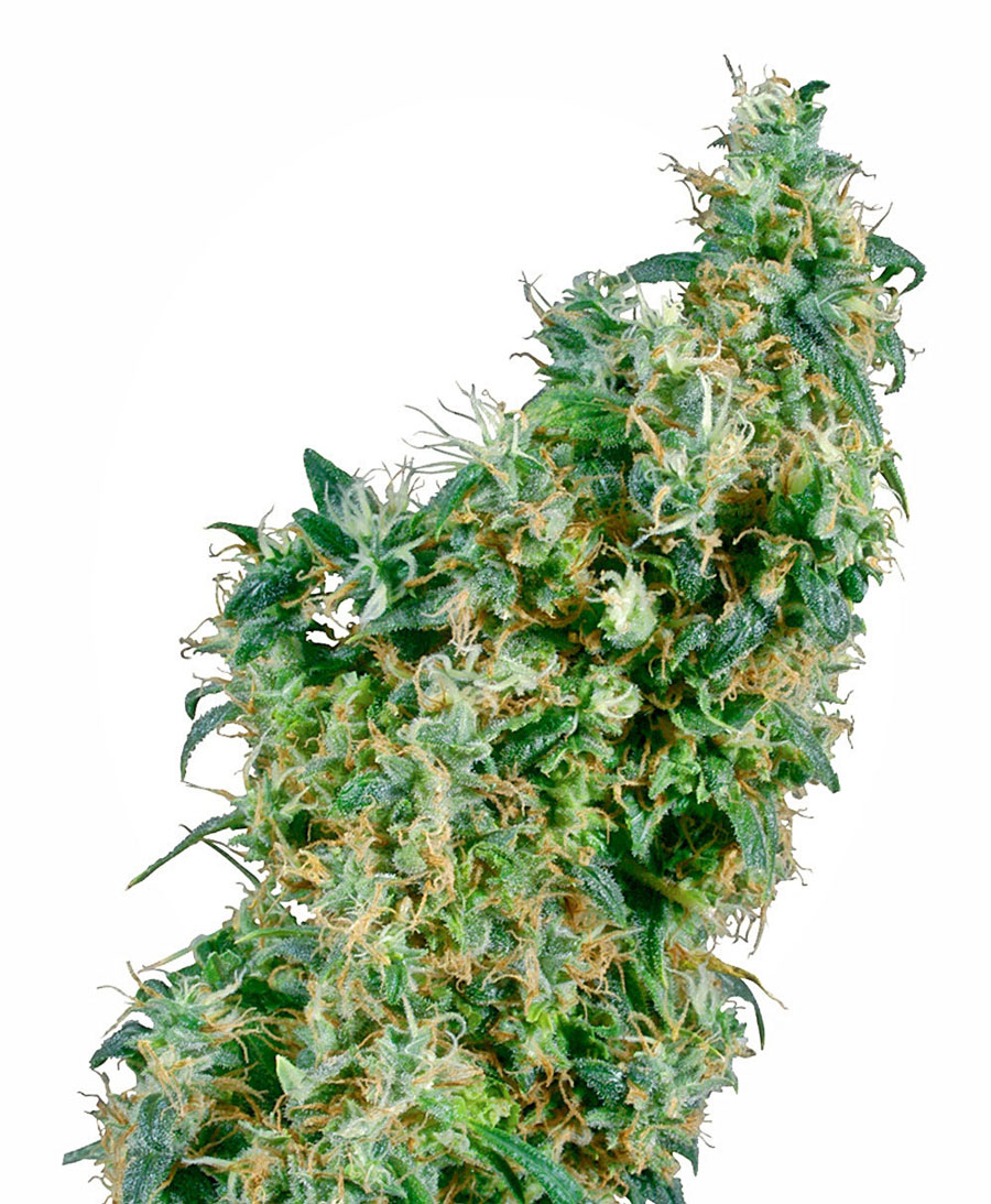 Buy First Lady® seeds online - Sensi Seeds UK