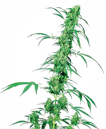 Fruity Juice Cannabis Seeds