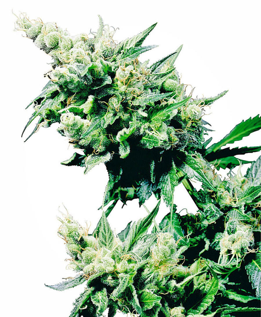 Buy Hash Plant® seeds online - Sensi Seeds UK
