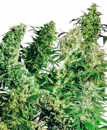 Buy Indoor Mix® seeds online - Sensi Seeds UK