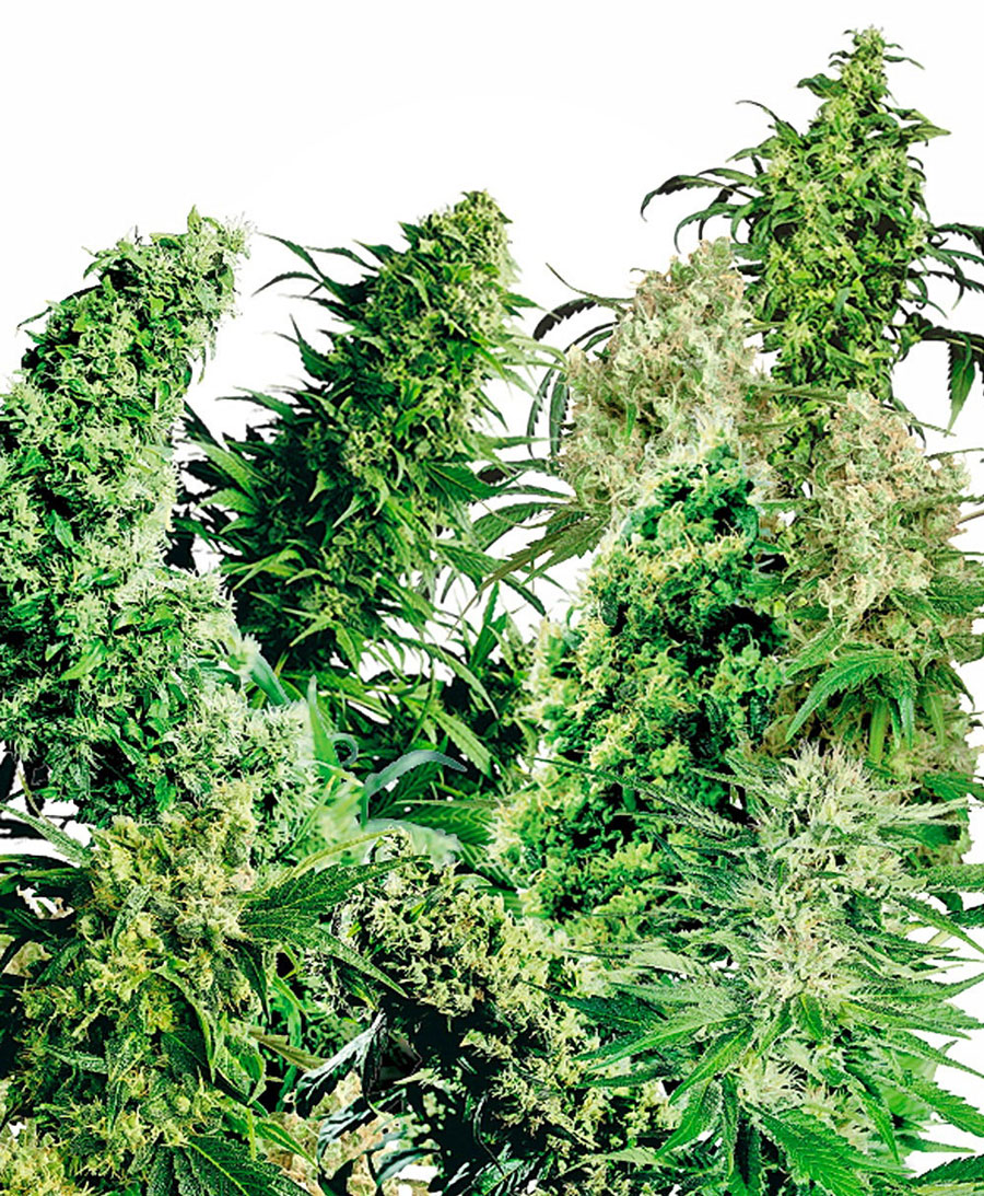 Buy Indoor Mix® seeds online - Sensi Seeds UK