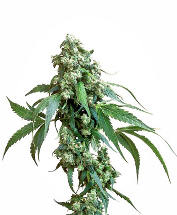 Jack Flash Cannabis Seeds