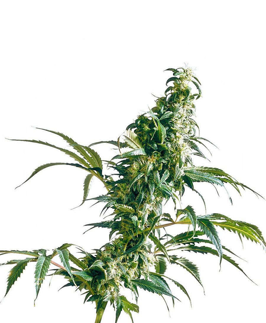 Buy Mexican Sativa® seeds online - Sensi Seeds UK
