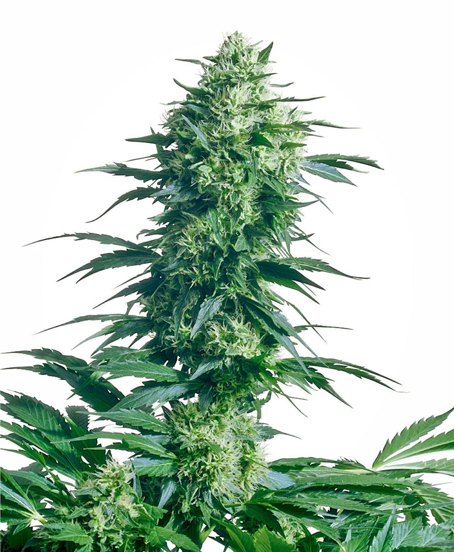 Buy Mother's Finest® seeds online - Sensi Seeds UK
