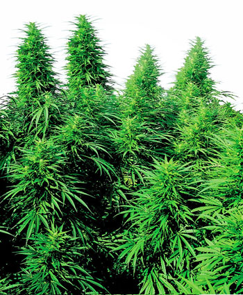 Ruderalis Skunk Cannabis Seeds
