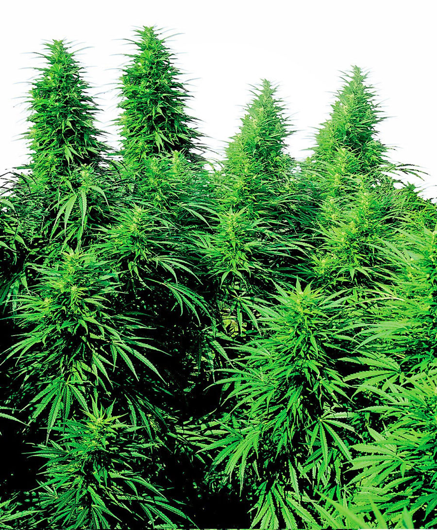 Buy Ruderalis Skunk® seeds online - Sensi Seeds UK