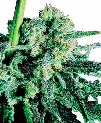 Buy Sensi Skunk� seeds online - Sensi Seeds UK