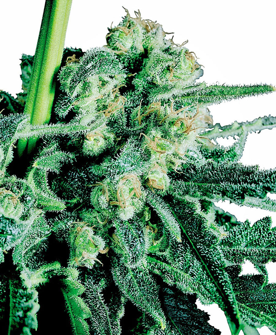 Buy Sensi Skunk® seeds online - Sensi Seeds UK