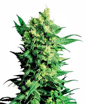 Buy Shiva Shanti II® seeds online - Sensi Seeds UK