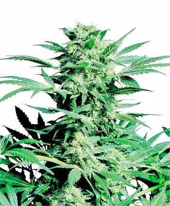 Buy Shiva Skunk® seeds online - Sensi Seeds UK