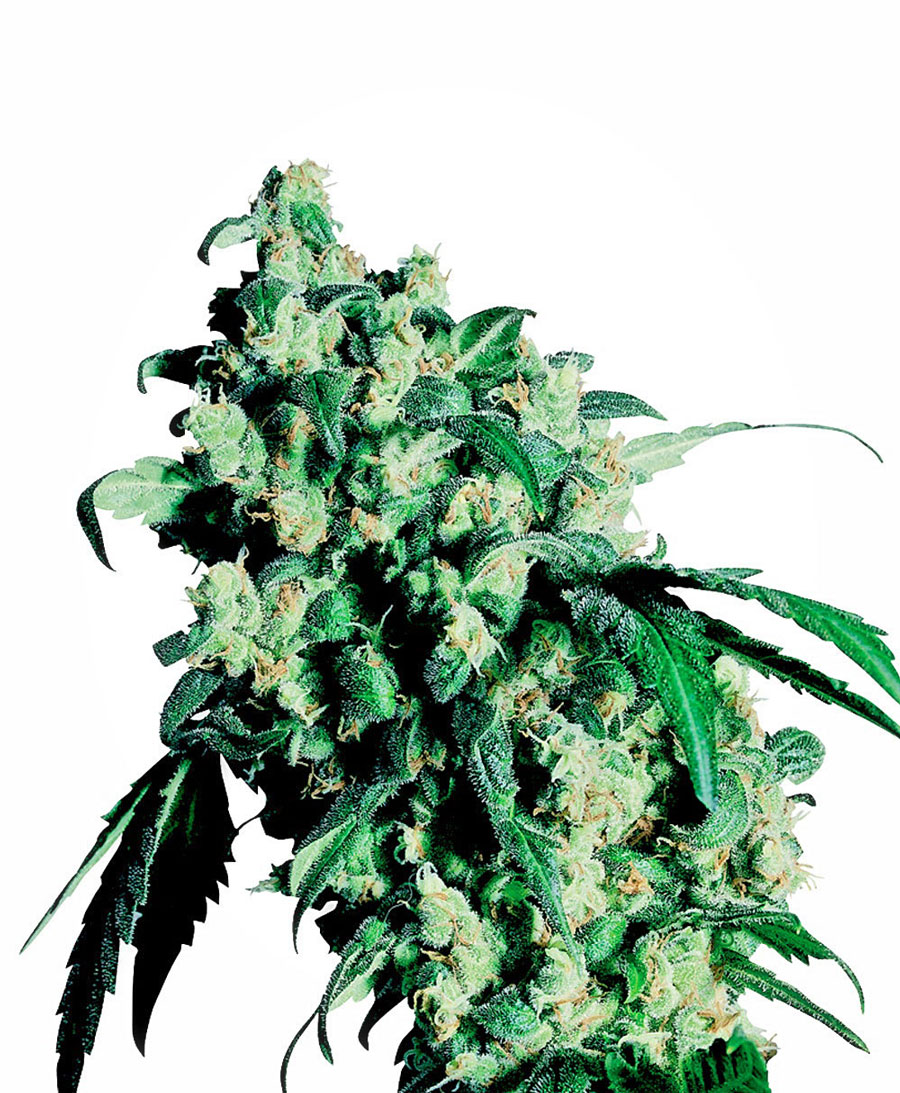 Buy Super Skunk® seeds online - Sensi Seeds UK