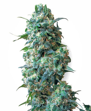 Buy Afghan Kush seeds online - White Label