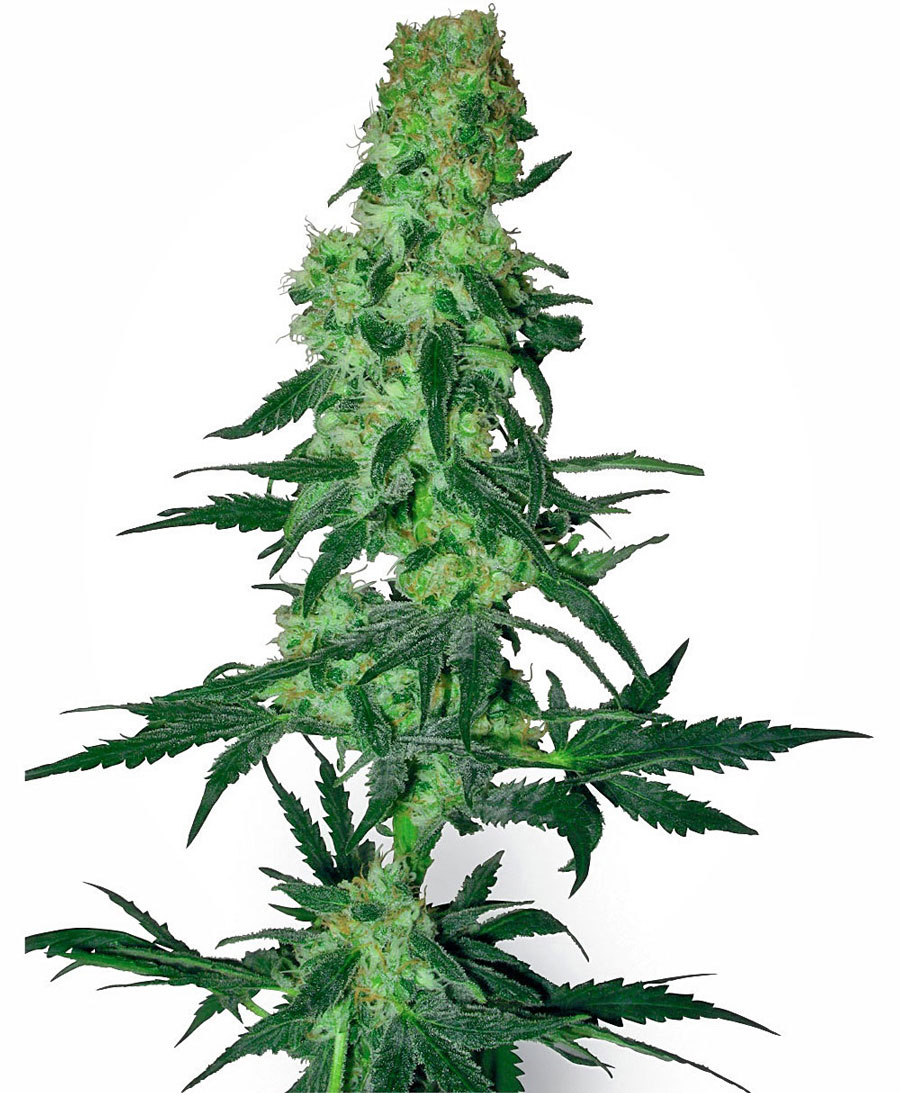 Buy Amnesia White seeds online - White Label