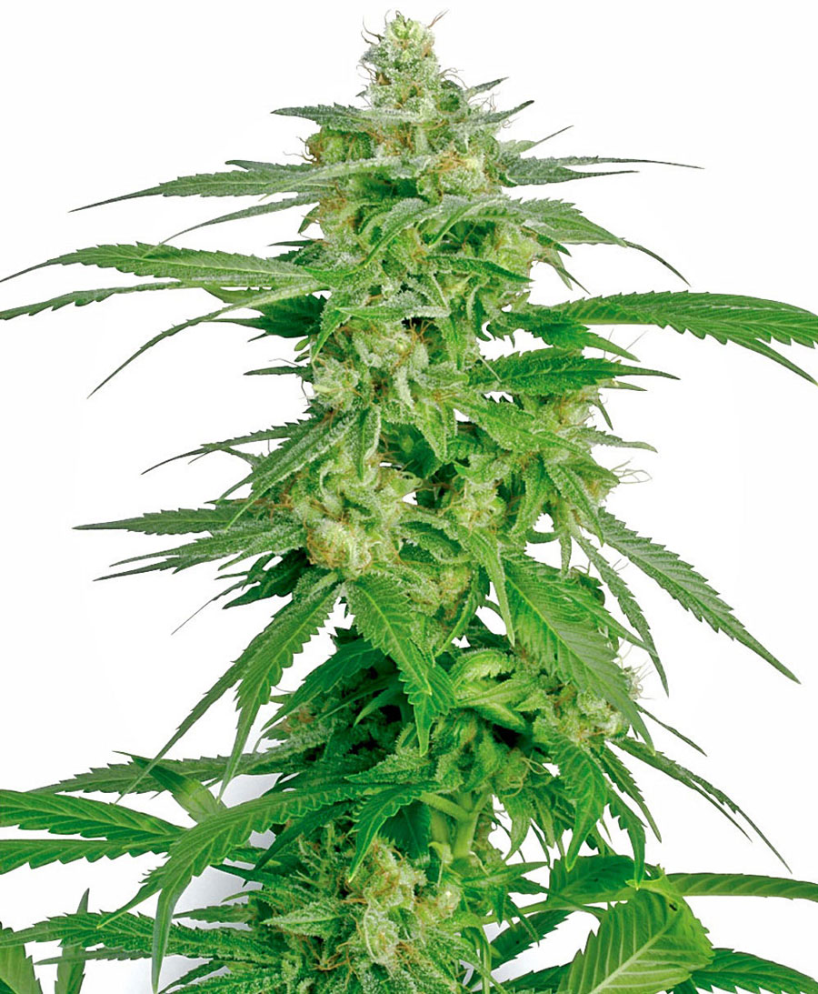 Buy Holland's Hope seeds online - White Label
