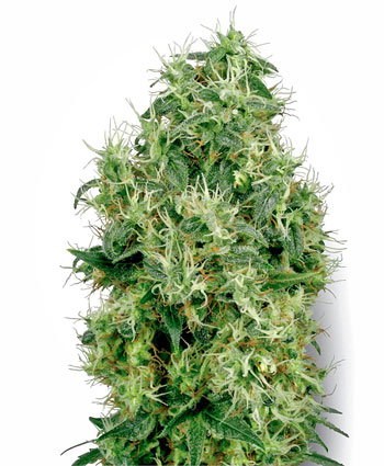 white gold Cannabis Seeds