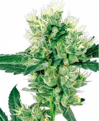 Buy White Haze seeds online - White Label