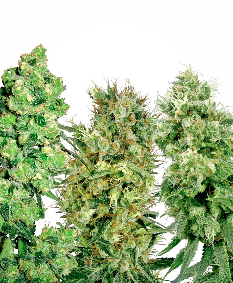 Buy White Label Mix seeds online - White Label