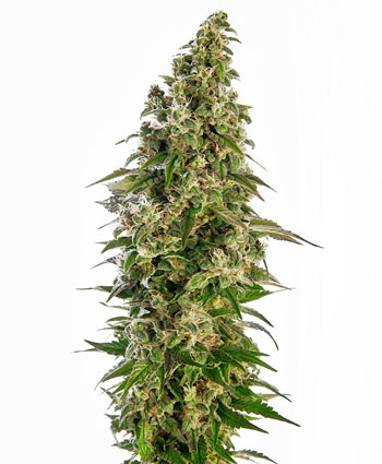 Buy Afghani #1 Automatic seeds online – Sensi Seeds UK