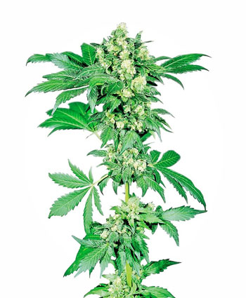 Buy Afghani #1 Feminized seeds online – Sensi Seeds UK